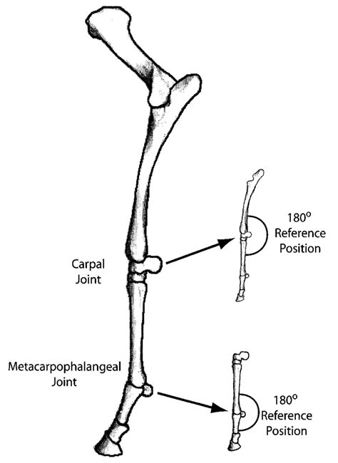 llustration   lateral aspect   forelimb