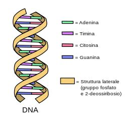 File Dna Simple Svg Wikimedia Commons