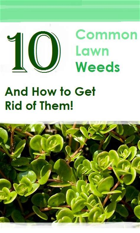 how to get rid of dandelions 10 common lawn weeds and how to get rid of them