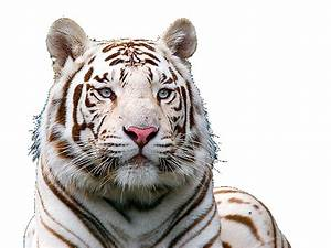 White Tiger Face Png | www.imgkid.com - The Image Kid Has It!