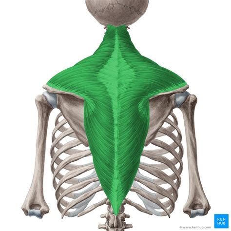 Latissimus dorsi tendon passes in. Trapezius muscle: Anatomy, origin, insertion, functions ...