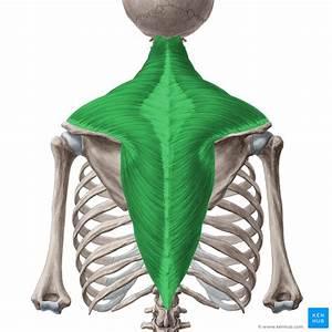 Trapezius Muscle  Anatomy  Origin  Insertion  Functions