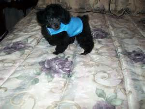 Tiny Toy Poodles Sale Breeders