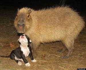 Cheesecake The Capybara Is Back With Seven Bulldog Puppies ...