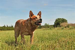 Get To Know the Red Heeler in 7 Questions! - Animalso