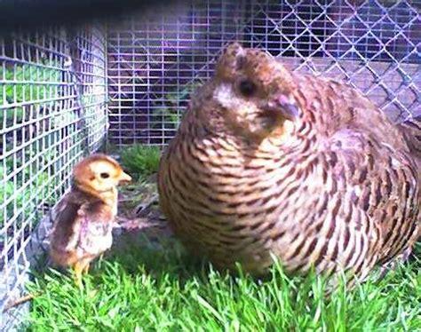 cuisiner une poule faisane ma poule faisan doré est maman