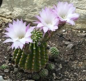 Easter Lily Cactus Echinopsis Oxygona
