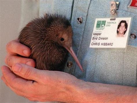 le kiwi de nouvelle zelande est peut etre originaire