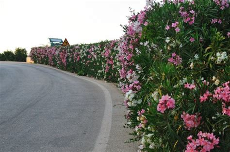 flowering hedge flowering hedge kefalonia oleander landscaping