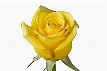 Yellow Roses Rose Flowers Cut Fresh Flower