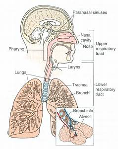Diagram Of The Respiratory System