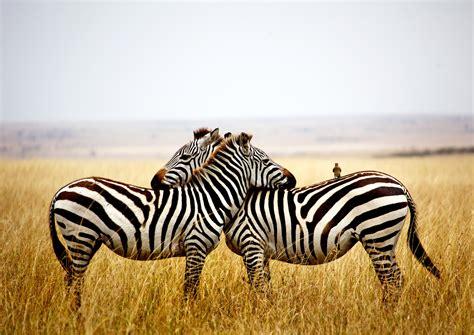 Zebra HD Wallpapers Free Download