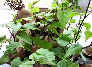 Culture De La Patate Douce : un jardin habit culture de la patate douce ~ Carolinahurricanesstore.com Idées de Décoration