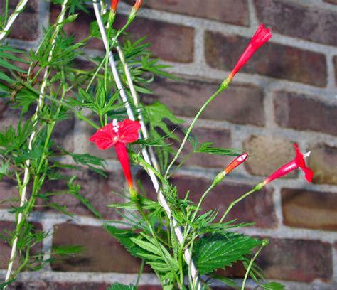 cardinal climber cardinal climber ipomoea x multifida hummingbird flowers feeders n photos