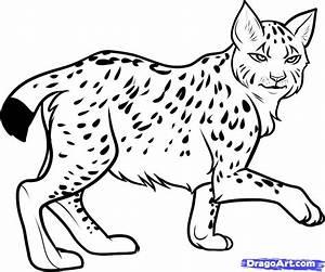 Step 8 How To Draw A Lynx Lynx