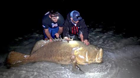 grouper goliath giant fishing blacktiph 4k beach