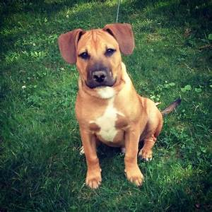 My pitbull boxer mix puppy