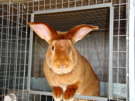 10 popular and rabbit breeds that are raised as pets the self sufficient living