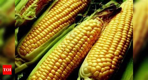 Haryana farmers to get hybrid maize seeds for free - Times ...