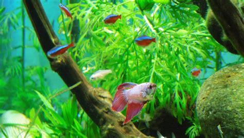 betta tank mates companion animals  betta fish