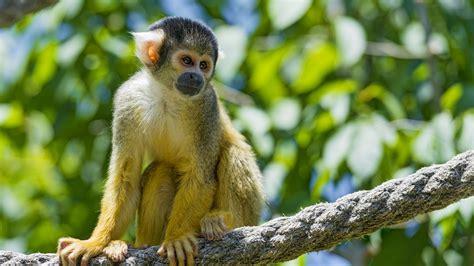Monkey Background Squirrel Monkey Rope Blurry Background Wallpaper