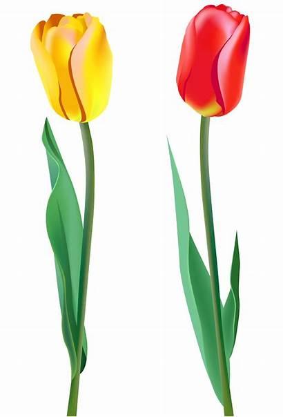 Tulips Clipart Spring Tulip Clip Flowers Flores