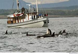5 dozen killer whales believed to be hunting salmon off S ...