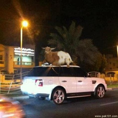 Funny Picture Funny goat on car   Pak101.com