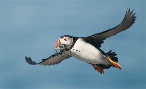 living  earth  puffin project