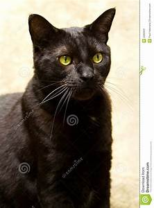 Black, Cat, With, Green, Eyes, Stock, Photo, Image, Of, Puma
