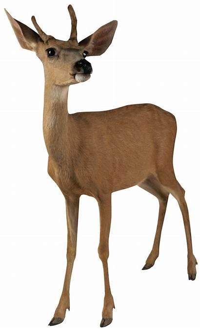 Deer Transparent Clipart Buck Money Animals Doe