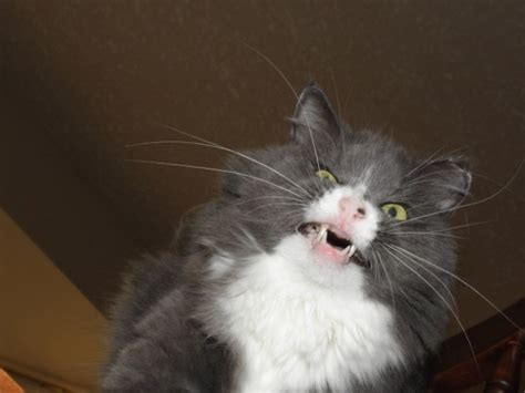 anorak news cats sneezing    cats mid sneeze