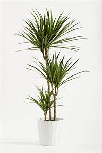 Yucca Palme Pflege : zimmerpflanzen schneiden so geht 39 s bl tenrausch ~ Eleganceandgraceweddings.com Haus und Dekorationen