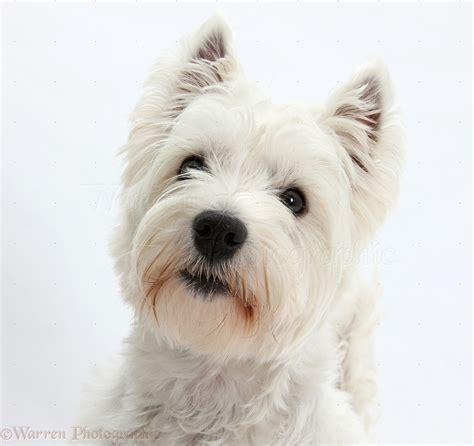 dog westie portrait photo wp