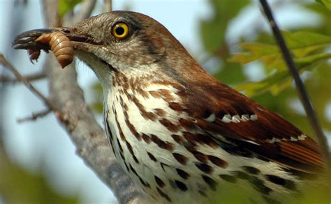 brown thrasher eats insect what s that bug