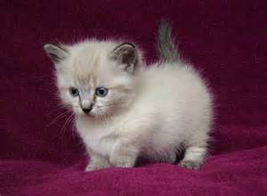 munchkin cat for adoption healthy and munchkins kittens for adoption