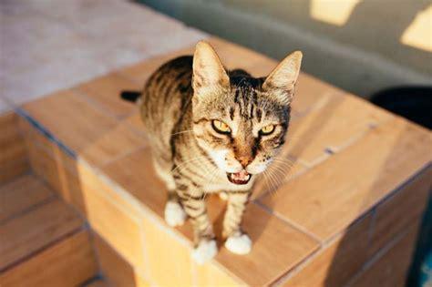 cat behavior   deal  calling meowing