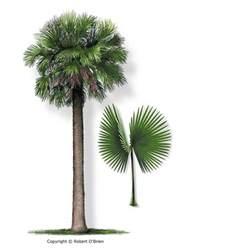 Florida Sabal Palm Tree Leaf