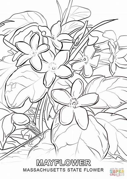 Coloring Massachusetts Mayflower Flower State Pages Flowers