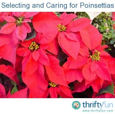 caring for poinsettias selecting and caring for poinsettias thriftyfun