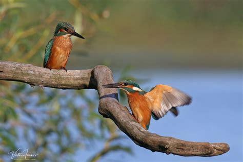 FOTO. Ornitologs publicē foto ar krāšņu putniņu, kas raisa ...