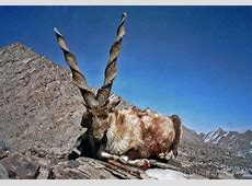 National Animal Of Pakistan Markhor 123Countriescom