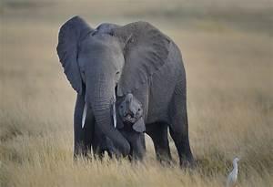 Baby Elephant and Mother, Amboseli National Park, Kenya ...