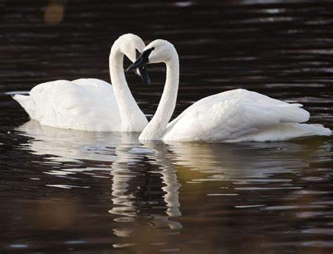 trumpeter swan tundra different swans heart shape pair characteristics species two any birds exactly identify better want check