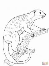 Possum Cuscus Coloring Animals Australian Pages Printable Supercoloring Colorings Getcolorings Hanging Categories sketch template