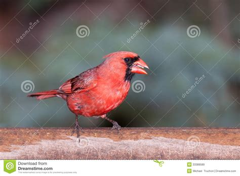 cardinal at the feeder eating seeds royalty free stock
