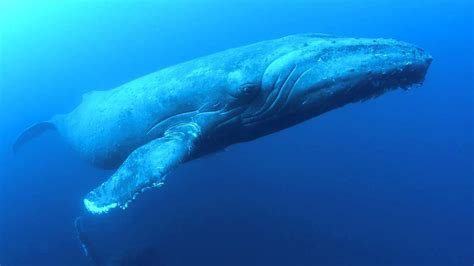 Whales Face New Dangers From Climate Change Harbor Nature