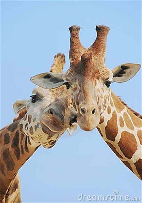 animal love giraffes stock image image