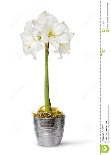 amaryllis blanche dans le bac photographie stock libre de droits image 19389057