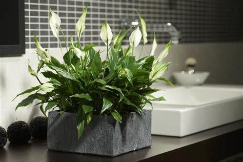 Zimmerpflanze Einblatt Haltung Pflege by Das Sind Die 5 Besten Pflanzen F 252 Rs Badezimmer In 2019